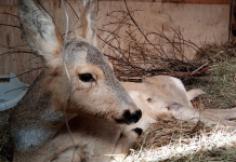Novosibirsk volunteers save the exhausted pregnant deer — she put on a drip and stretch my legs