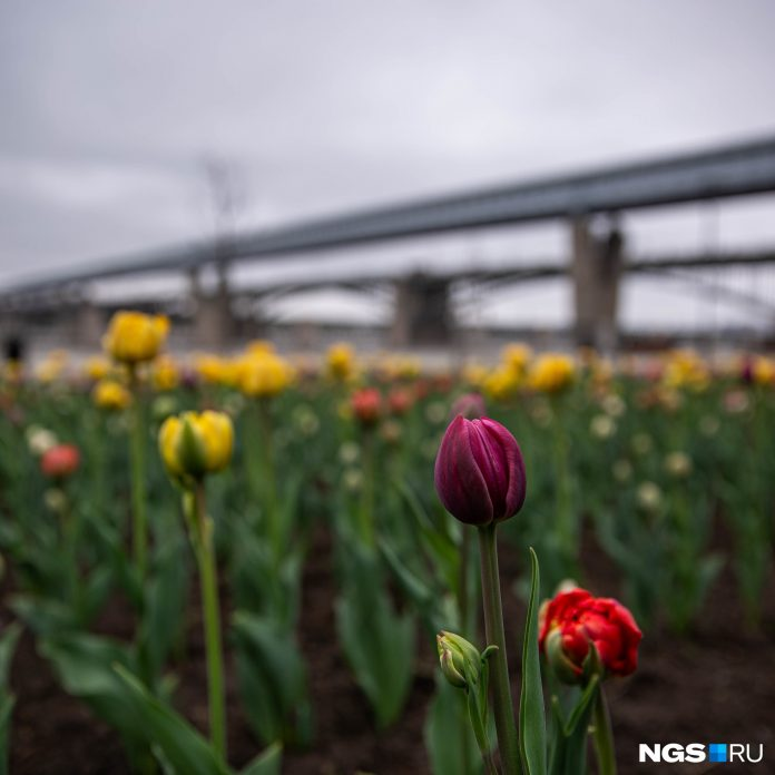 At St. Michael's promenade planted 30 thousand tulips — blooming published 9 pictures
