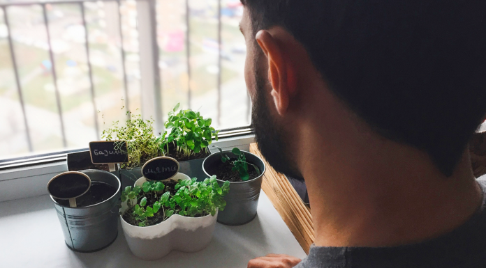 Cute, dinner on the windowsill: how to grow rucola, lemongrass and then if at home