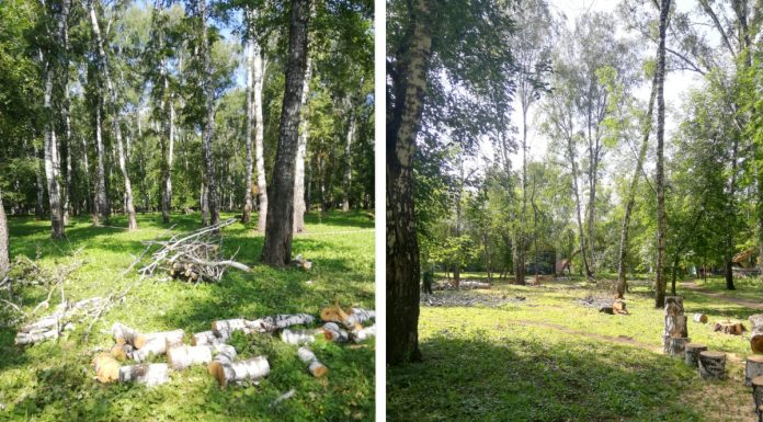 """In the Park """"birch grove"""" began to cut down trees in the city hall explained why"""