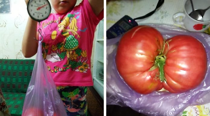 """""""Almost 1.5 pounds!"""": near Novosibirsk in the garden grew a huge tomato"""