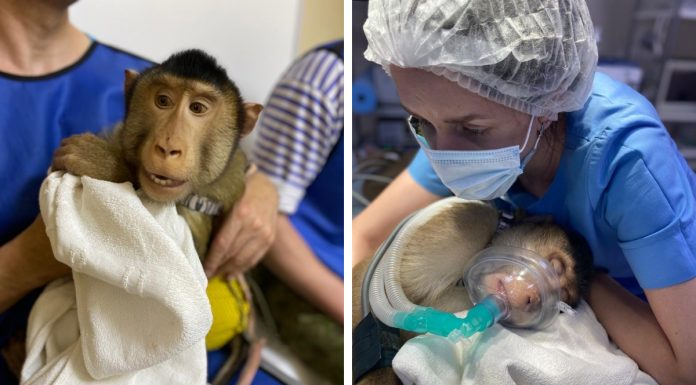 Blame on macaque attacked his brother, the monkey needed the help of Novosibirsk vets