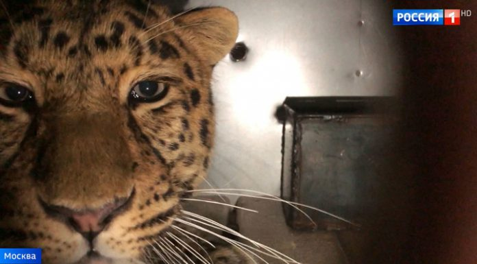 Seven operations and flights to Moscow: leopard rescued after the accident