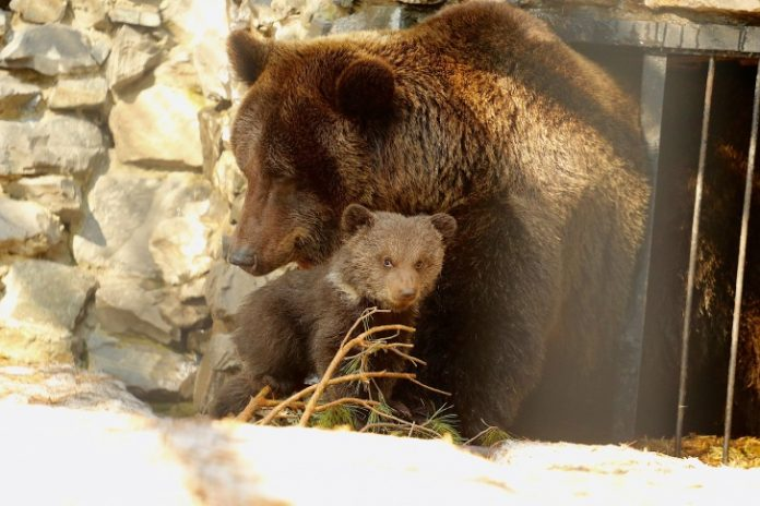 A Mama bear and two bear came to the people in the Novosibirsk region