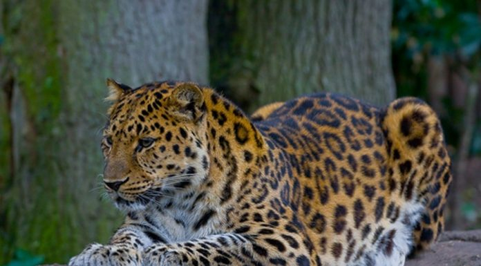 In Novosibirsk zoo will be bringing along a male of the rare leopard