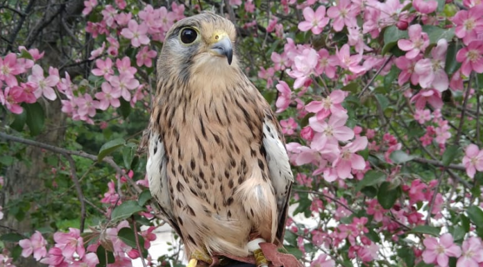 """""""Saved from all the kites"""": a one-legged Falcon, the Phoenix found a week later — who caught the bird"""