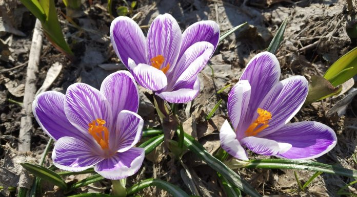 The most beautiful shots of this spring: in the Novosibirsk blossom leaves, blooming Crocus and snowdrops