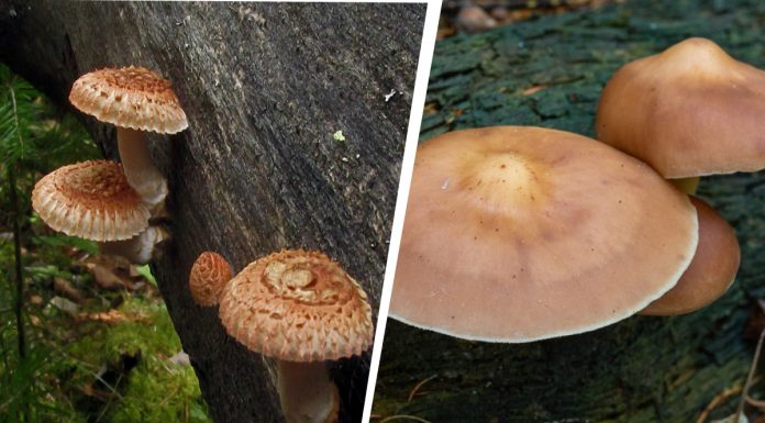 In Akademgorodok has grown rare mushrooms, but they are not shown as they look