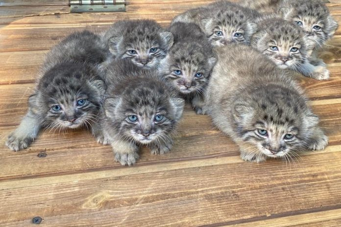 In Novosibirsk a zoo were born on the 16th of Pallas ' cats — they have very bright blue eyes