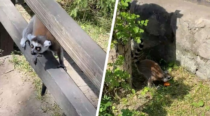 """""""Walk back home"""": the Director of the Novosibirsk zoo, explained the attacks of the lemur out of the cage"""