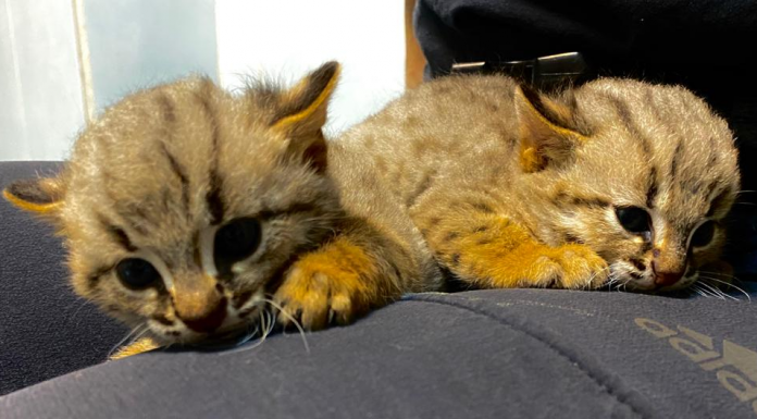 At the zoo showed how to look young, one of the smallest cats in the world (they are rusty-red)