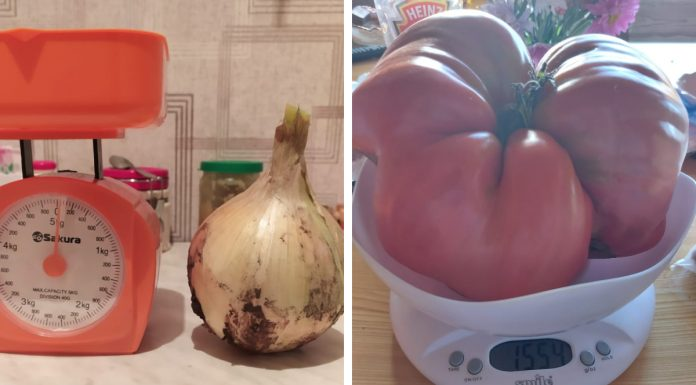 Large bow and a giant-tomato 1.7 kilograms — what else do the giants grow cottages in Novosibirsk
