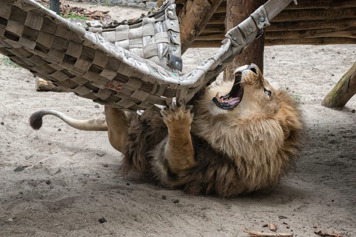 Like a wild cat relaxing in the hammocks — 5 photos from Novosibirsk zoo is the envy