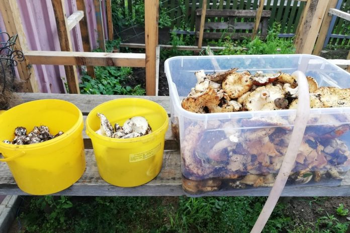 Novosibirsk announced the hunt for mushrooms (somebody collected a whole tub). Look photo